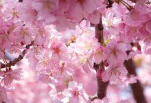 Photo of (靜岡伊豆)浪漫粉紅河津櫻–2月就到伊豆迎接最早的春天吧