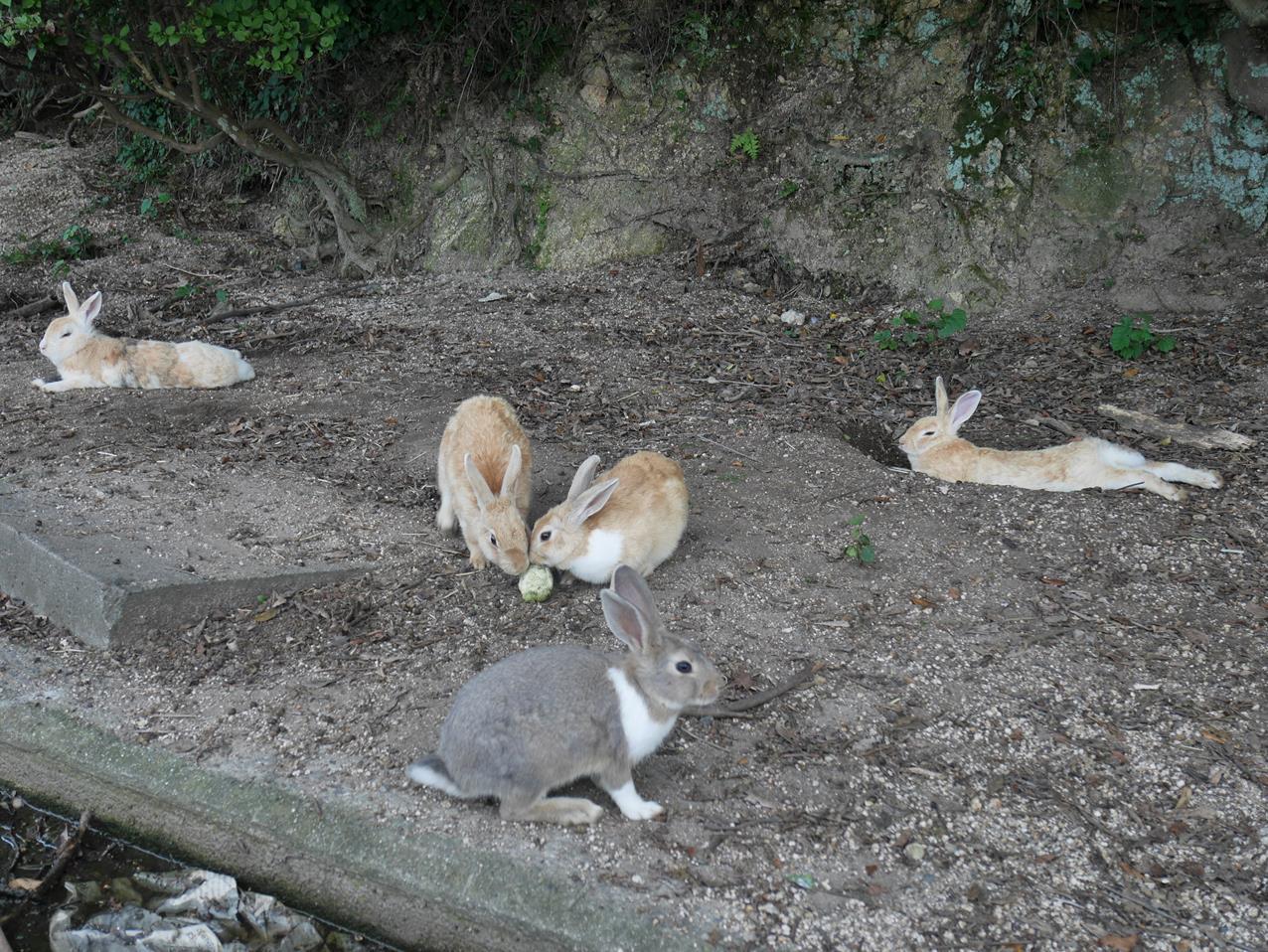大久野島兔子