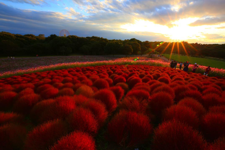 Photo of 秋天不只有紅葉!來國營常陸海濱公園欣賞掃帚草的花海吧~~